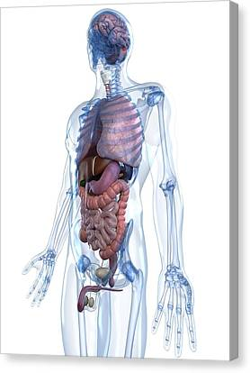 Male Anatomy, Artwork Canvas Print by Sciepro