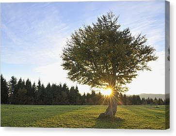 Beech Tree, Schauinsland, Black Forest, Baden-wurttemberg, Germany Canvas Print by Raimund Linke