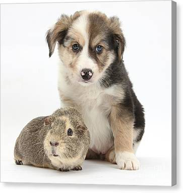 Border Collie Pup And Guinea Pig Canvas Print by Mark Taylor