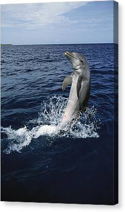 Bottlenose Dolphin Tursiops Truncatus Canvas Print by Konrad Wothe