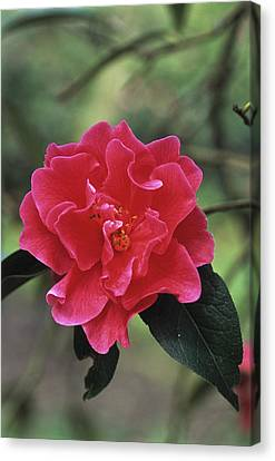 Camellia Flower Canvas Print by Adrian Thomas