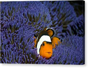 Clown Anemonefish Canvas Print by Georgette Douwma