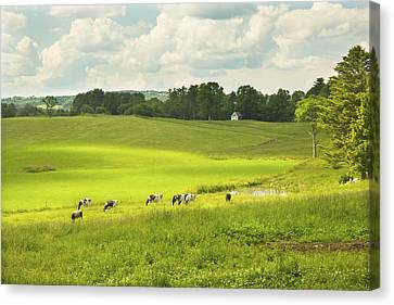 Cows Grazing On Grass In Farm Field Summer Maine Canvas Print by Keith Webber Jr