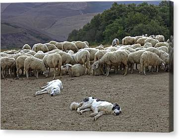 Cattle Dog Canvas Print - Flock Of Sheep by Joana Kruse