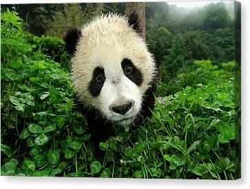 The Nature Center Canvas Print - Giant Panda Ailuropoda Melanoleuca by Katherine Feng