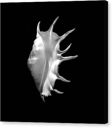 Giant Spider Conch Seashell Lambis Truncata Canvas Print