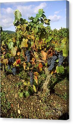 Grape Vines Canvas Print - Grapes Growing On Vine by Bernard Jaubert