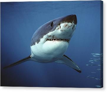 Great White Shark Carcharodon Canvas Print by Mike Parry