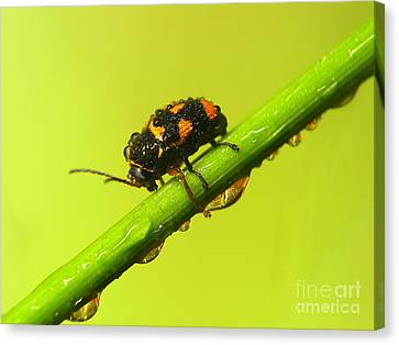 Insect Canvas Print by Odon Czintos
