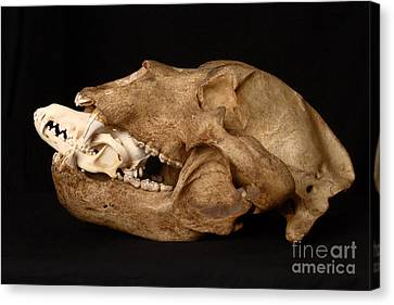 Kodiak Bear Skull With Coyote Skull Canvas Print