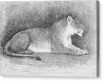 Lion Canvas Print by Granger