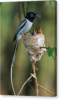 Madagascar Paradise Flycatcher Canvas Print by Cyril Ruoso