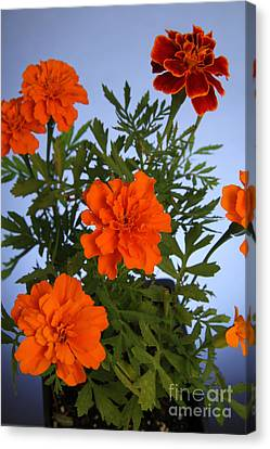Magnoliopsida Canvas Print - Marigolds by Photo Researchers, Inc.