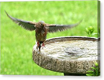 Canvas Print featuring the photograph Mourning Dove by Jack R Brock