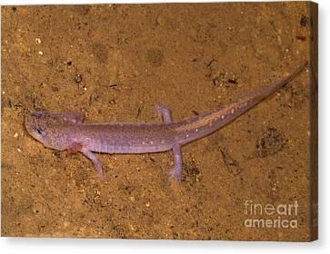 Ozark Blind Cave Salamander Canvas Print by Dante Fenolio