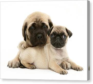 Pug And English Mastiff Puppies Canvas Print by Jane Burton