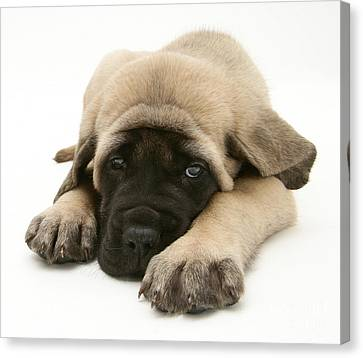 Mastiff Pups Canvas Print - Sleeping Puppy by Jane Burton