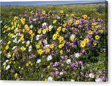 South African Wildflowers Canvas Print by Bob Gibbons