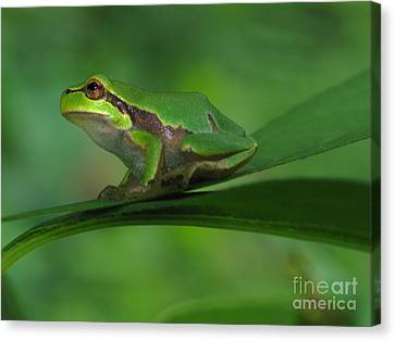 Tree Frog Canvas Print by Odon Czintos