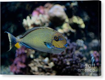 Tropical Fish Canvas Print by Carol Ailles