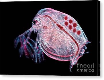 Water Flea Daphnia Magna Canvas Print by Ted Kinsman