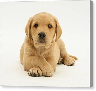 Yellow Labrador Puppy Canvas Print