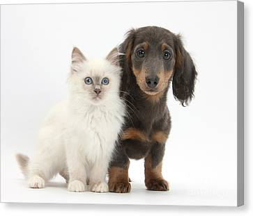 Blue-point Kitten & Dachshund Canvas Print by Mark Taylor