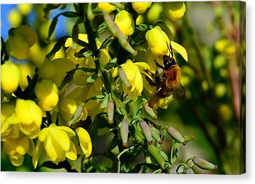 Busy Bee Canvas Print by Barbara Walsh