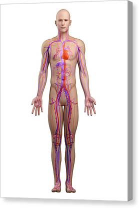 Cardiovascular System, Artwork Canvas Print