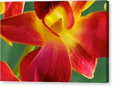 Dendribium Malone Or Hope Orchid Flower Canvas Print by Perla Copernik