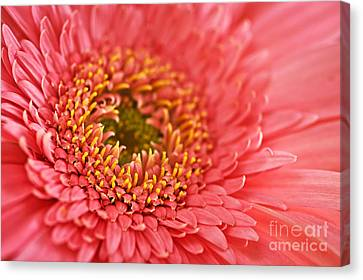 Flowers Gerbera Canvas Print - Gerbera Flower by Elena Elisseeva