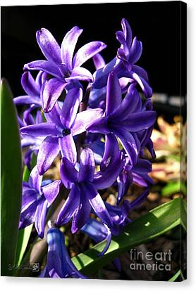 Canvas Print featuring the photograph Hyacinth Named Peter Stuyvesant by J McCombie