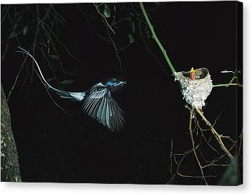 Madagascar Paradise Flycatcher Canvas Print by Cyril Ruoso