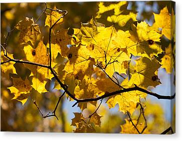 Maple Canvas Print by Igor Sinitsyn