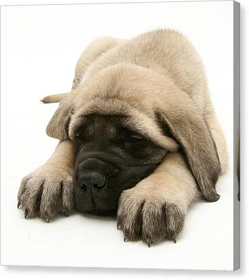 Sleeping Puppy Canvas Print by Jane Burton