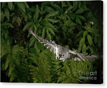 Titmouse Canvas Print - Tufted Titmouse In Flight by Ted Kinsman