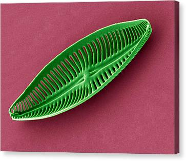 Diatom, Sem Canvas Print by Steve Gschmeissner