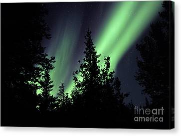 Aurora Borealis Above The Trees Canvas Print