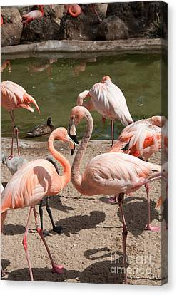 Flamingos Canvas Print by Carol Ailles