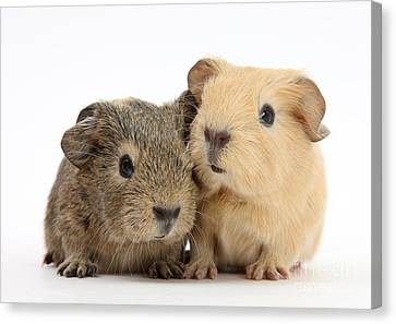 Cavy Canvas Print - Guinea Pigs by Mark Taylor