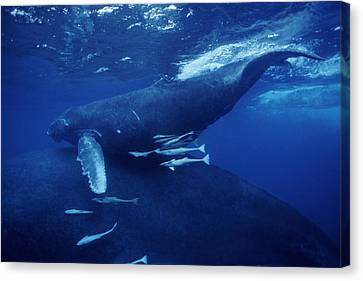 Humpback Whales Canvas Print by Alexis Rosenfeld