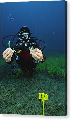 Invasive Seaweed Control Canvas Print by Alexis Rosenfeld