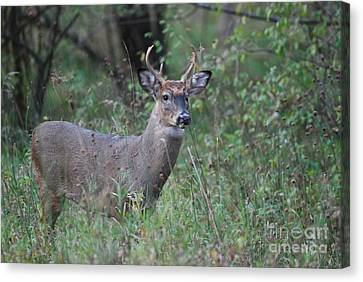 6 Point Buck Canvas Print by David Murray