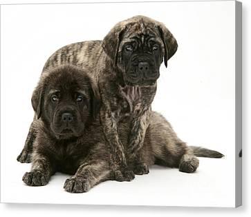 Mastiff Pups Canvas Print - Puppies by Jane Burton