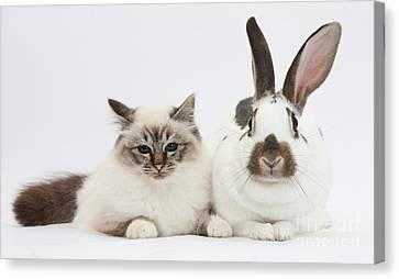 Cavy Canvas Print - Tabby-point Birman Cat And Rabbit by Mark Taylor