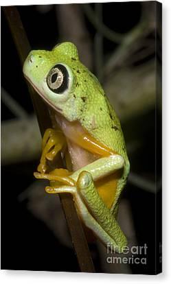 Tree Frog Canvas Print by Dante Fenolio
