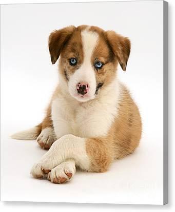 Border Collie Puppy Canvas Print by Jane Burton