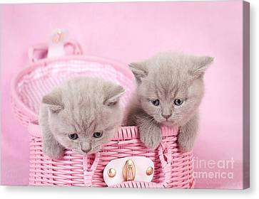 British Shorthair Kitten Canvas Print by Waldek Dabrowski