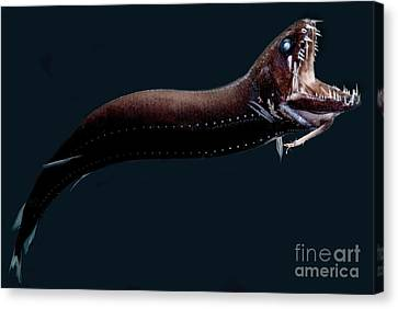 Deep-sea Dragonfish Canvas Print by Dant� Fenolio
