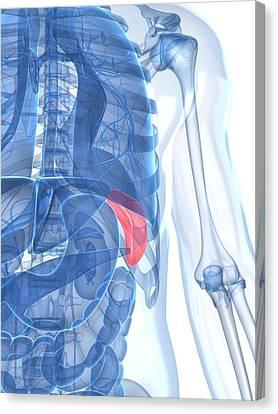 Healthy Spleen, Artwork Canvas Print by Sciepro
